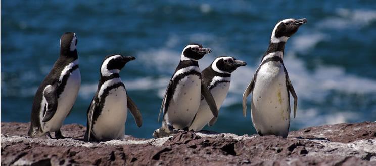 birdlife-adopta-un-pinguino-ttandem